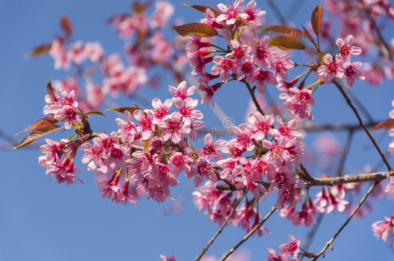 Download Fleur De Floraison De Fleurs De Sakura Dans Phu-Lom-Lo Image stock - Image du campagne, floraison: 77152797