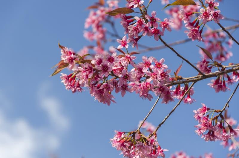 Download Fleur De Floraison De Fleurs De Sakura Dans Phu-Lom-Lo Image stock - Image du oriental, rose: 77152827