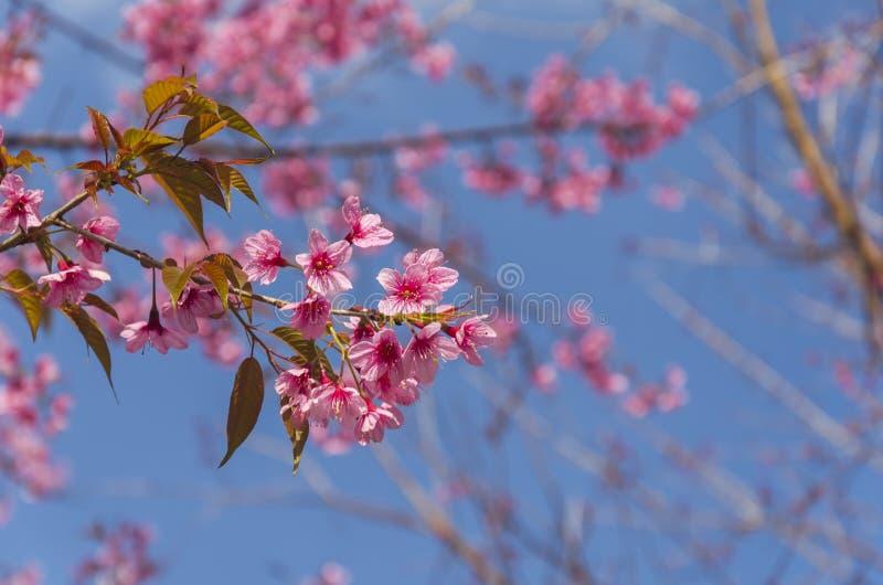 Download Fleur De Floraison De Fleurs De Sakura Dans Phu-Lom-Lo Image stock - Image du extérieur, pétale: 77153117