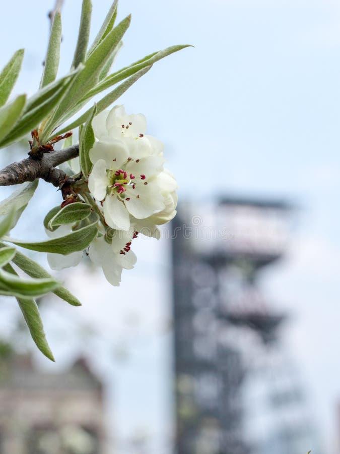 Fleur de floraison et un puits de mine Concept de contraste entre la nature et l'industrie photos libres de droits