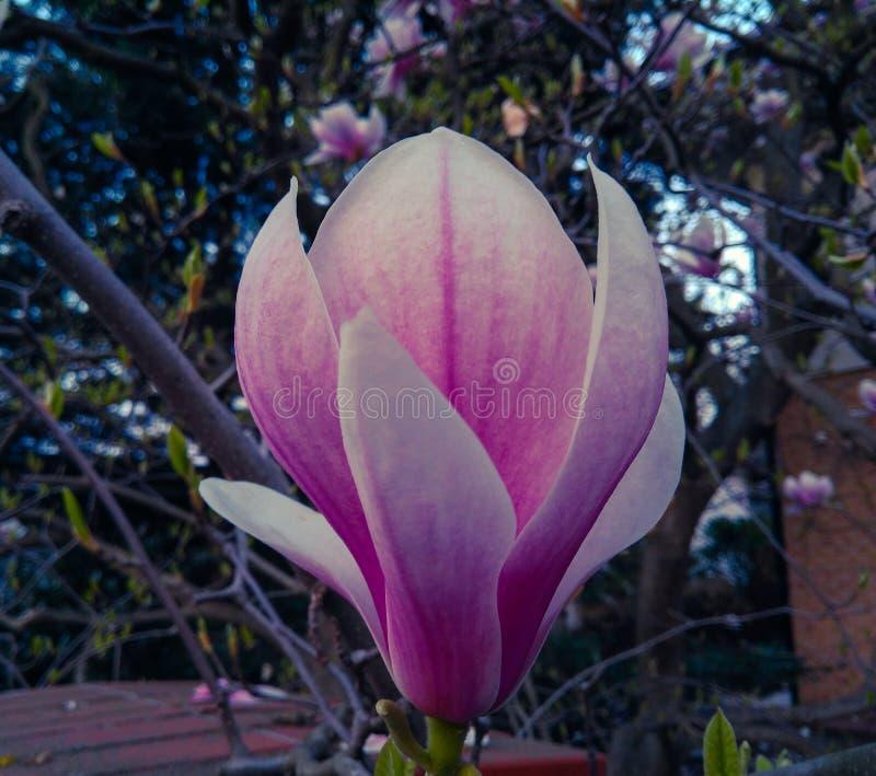 Fleur de floraison de magnolia sur une branche d'arbre images stock
