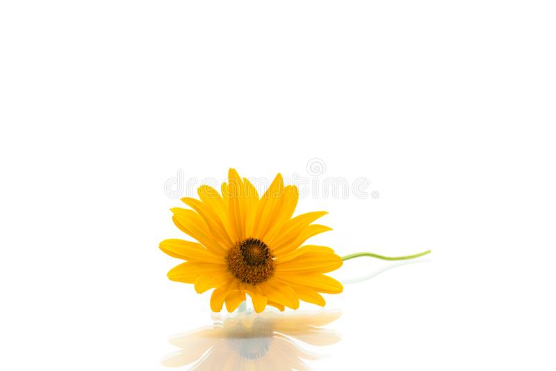 Fleur de floraison de marguerite d'été jaune sur le blanc photo stock