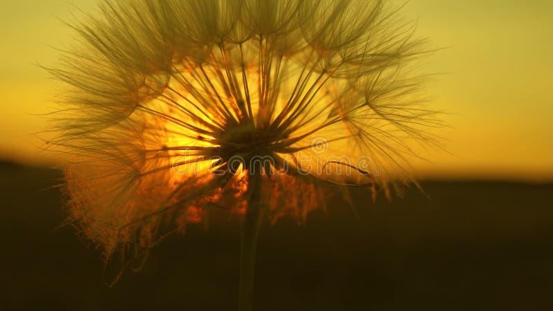 fleur de floraison de pissenlit au lever de soleil Plan rapproch? Pissenlit dans le domaine sur le fond d'un beau coucher du sole images stock