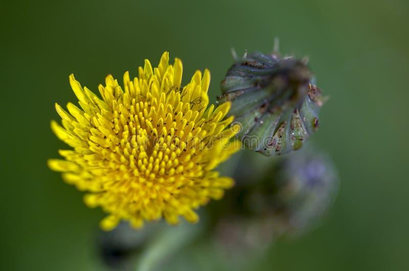 Fleur de floraison de pissenlit et un bourgeon photographie stock libre de droits