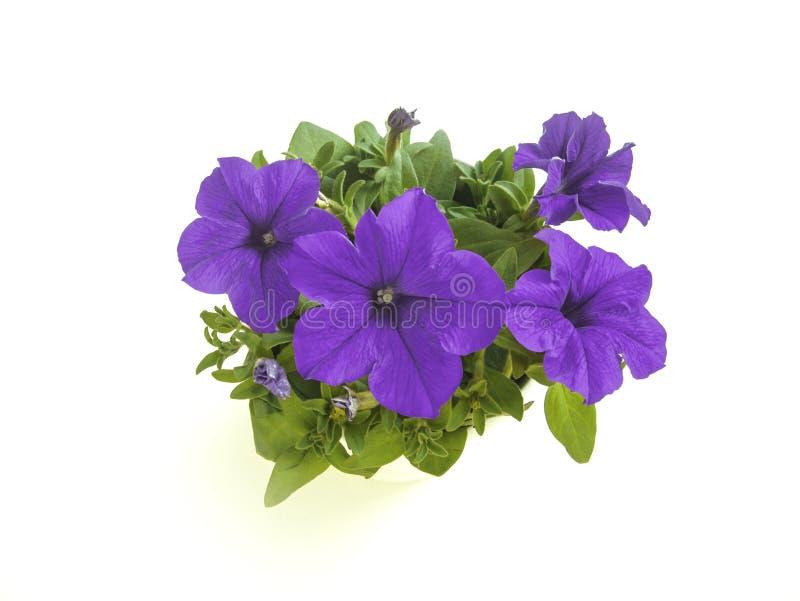 Fleur de floraison pourpre de pétunia dans l'angle supérieur de pot d'isolement images stock