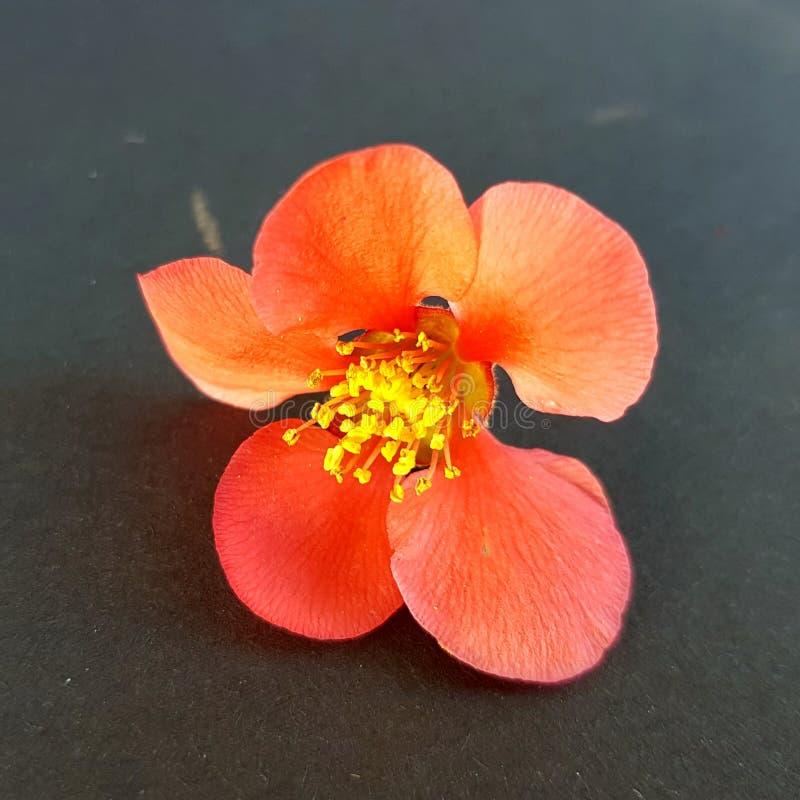 Fleur de floraison de ressort avec les pétales oranges et le pollen jaune photos stock