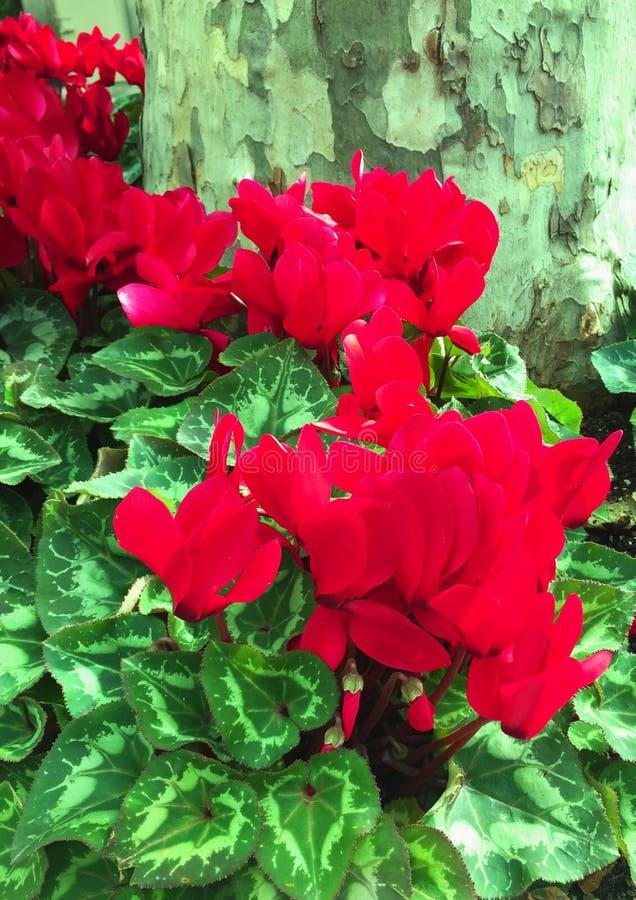 Fleur de floraison de ressort d'hiver de cyclamen en rouge près d'un arbre photographie stock libre de droits