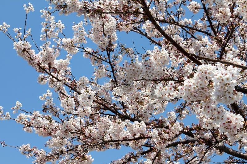 Fleur de floraison de Sakura sur l'arbre image stock