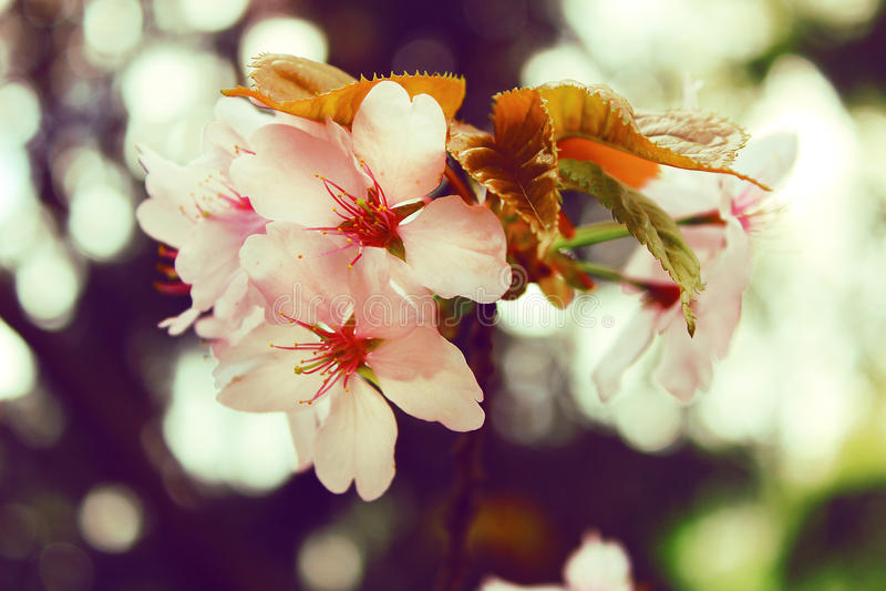 Fleur de foyer Cherry Blossom ou de Sakura photo libre de droits