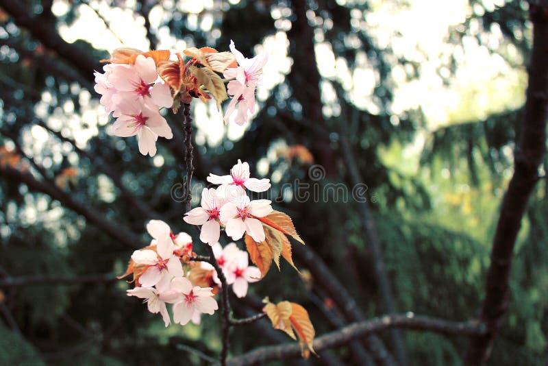 Fleur de foyer Cherry Blossom ou de Sakura photos libres de droits