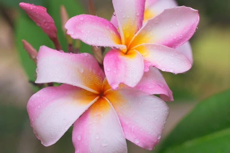 Fleur de Frangipani avec la goutte de pluie photo stock