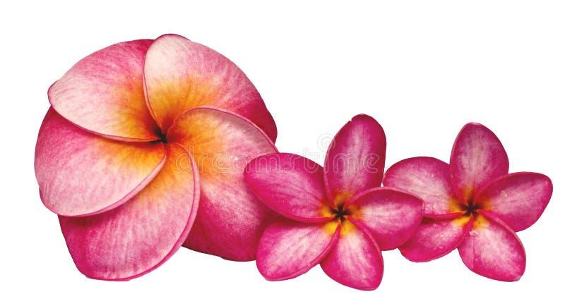 Fleur de Frangipani sur la terre blanche photos libres de droits