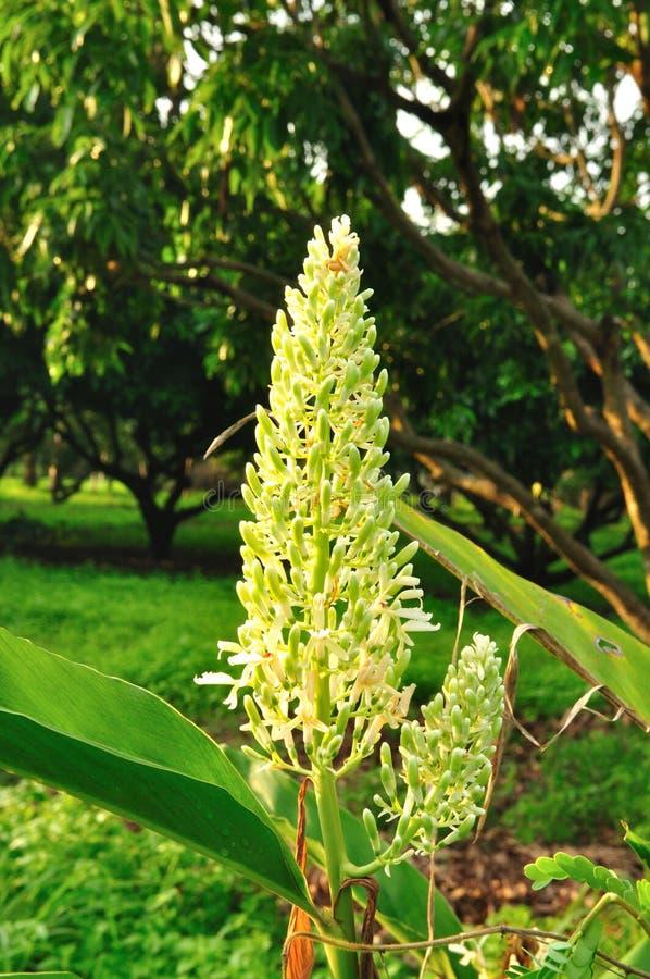 Fleur de Galanga image stock