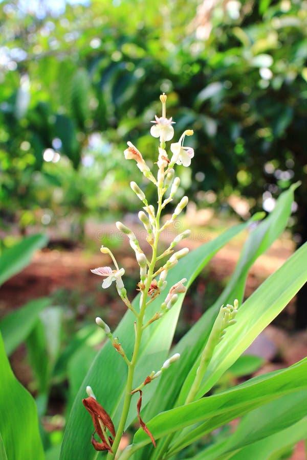 Fleur de Galanga photos stock