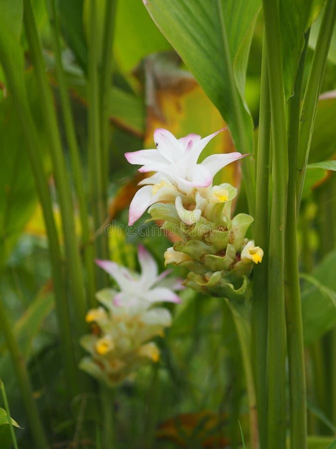 Fleur de Galanga, bouquet photo stock