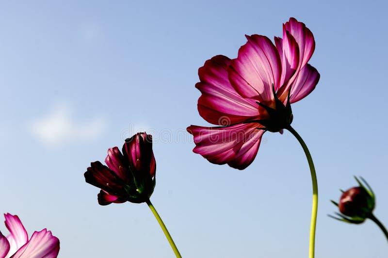Fleur de Galsang images libres de droits