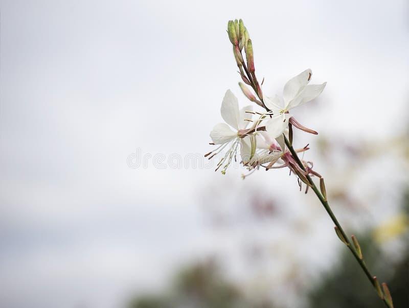 Fleur de Gaura avec le copie-espace neutre images stock