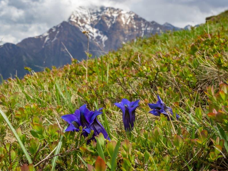 Fleur de gentiane sur un pré dans les Alpes italiens photographie stock