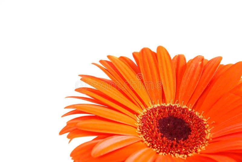 Fleur de Gerber image libre de droits