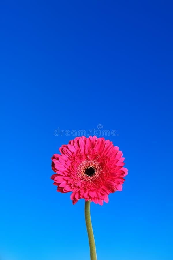 Fleur de Gerbera à l'arrière-plan bleu photographie stock libre de droits