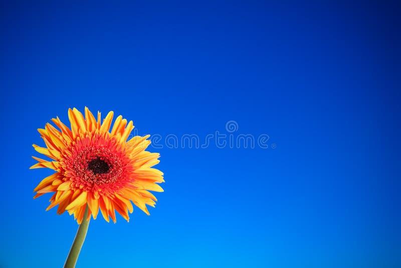 Fleur de Gerbera à l'arrière-plan bleu de fond image stock