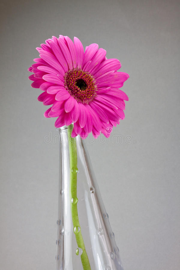 Fleur de Gerbera photos libres de droits