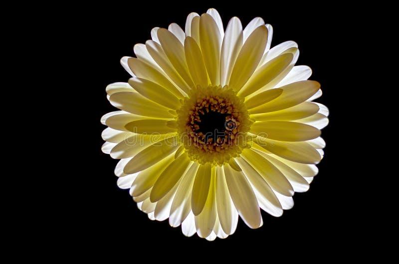 Fleur de Gerbera allumée sur le noir illustration libre de droits