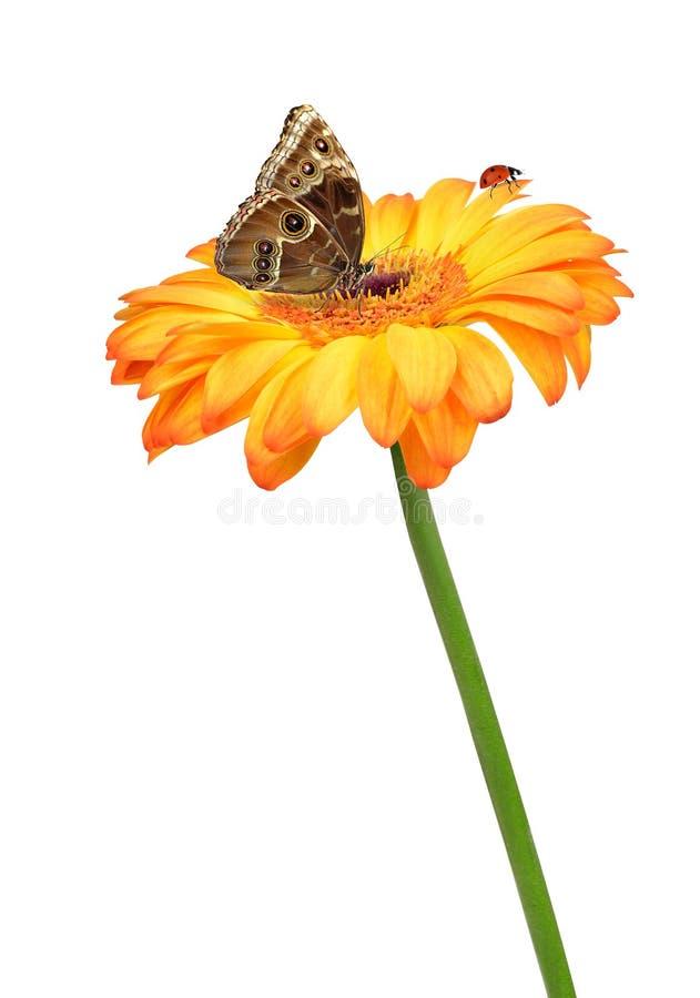 Fleur de gerbera avec le papillon et la coccinelle photo - Image papillon et fleur ...