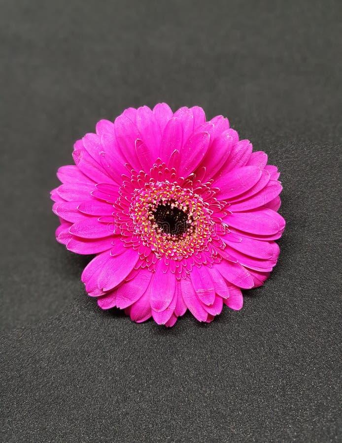 Fleur de Gerbera dans le rose au-dessus du fond noir Plan rapproché de fleur de gerbera photos libres de droits