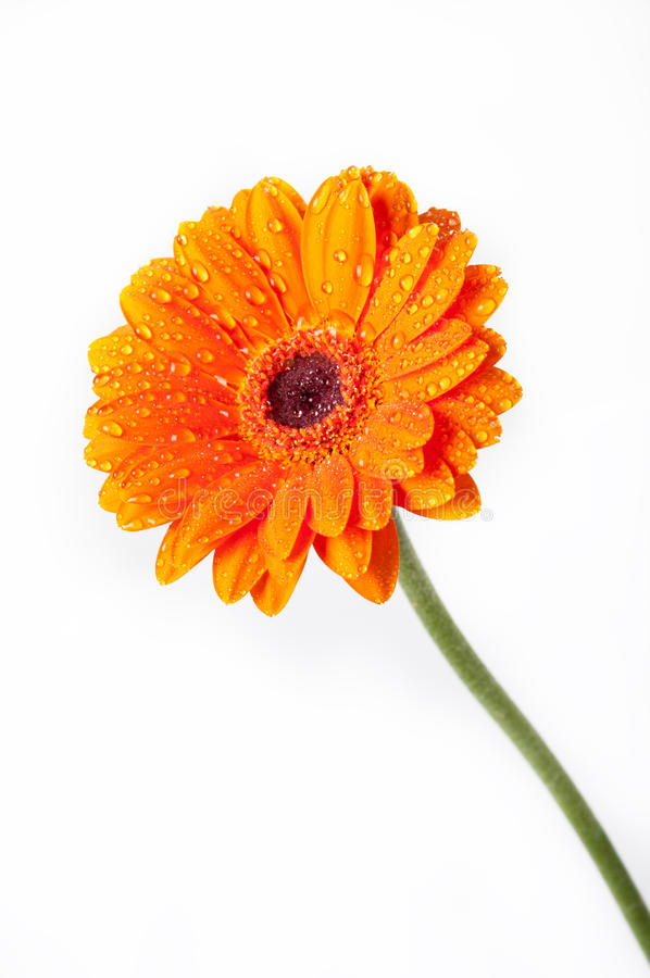 Fleur de Gerbera de marguerite orange sur le blanc photographie stock libre de droits
