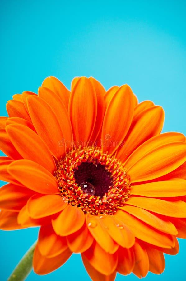 Fleur de Gerbera de marguerite orange sur le bleu images libres de droits