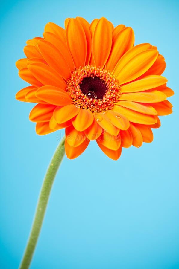 Fleur de Gerbera de marguerite orange sur le bleu photos libres de droits