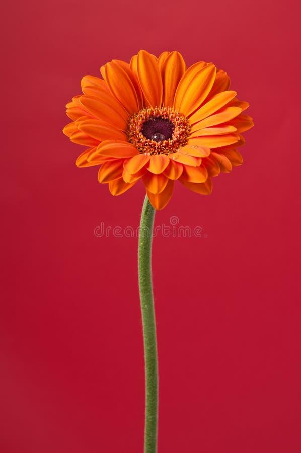 Fleur de Gerbera de marguerite orange sur le rouge image stock