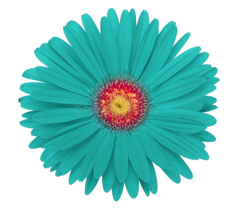 Fleur de gerbera de turquoise image libre de droits