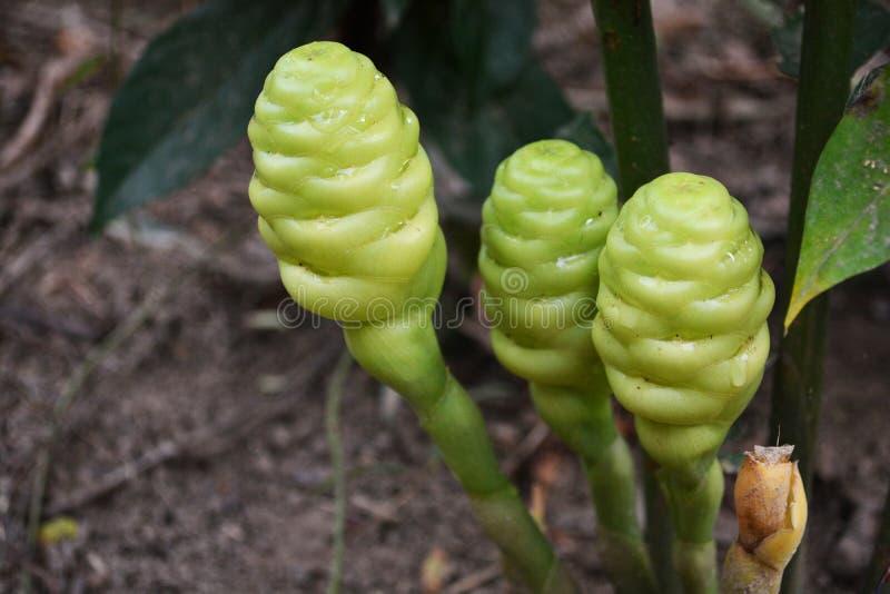 Fleur de gingembre photos stock