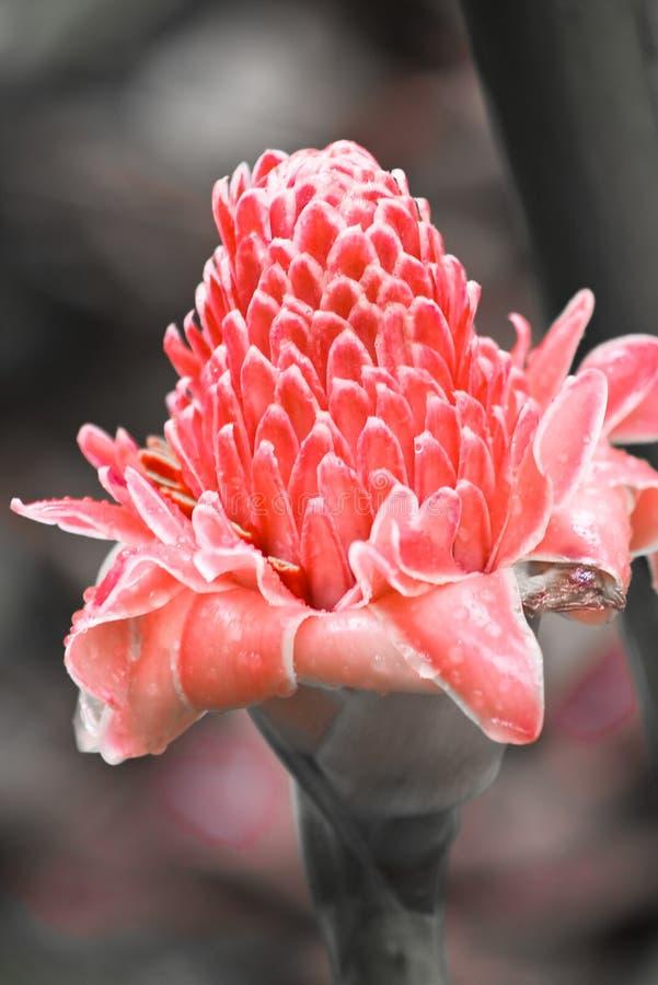 Fleur de gingembre photo stock