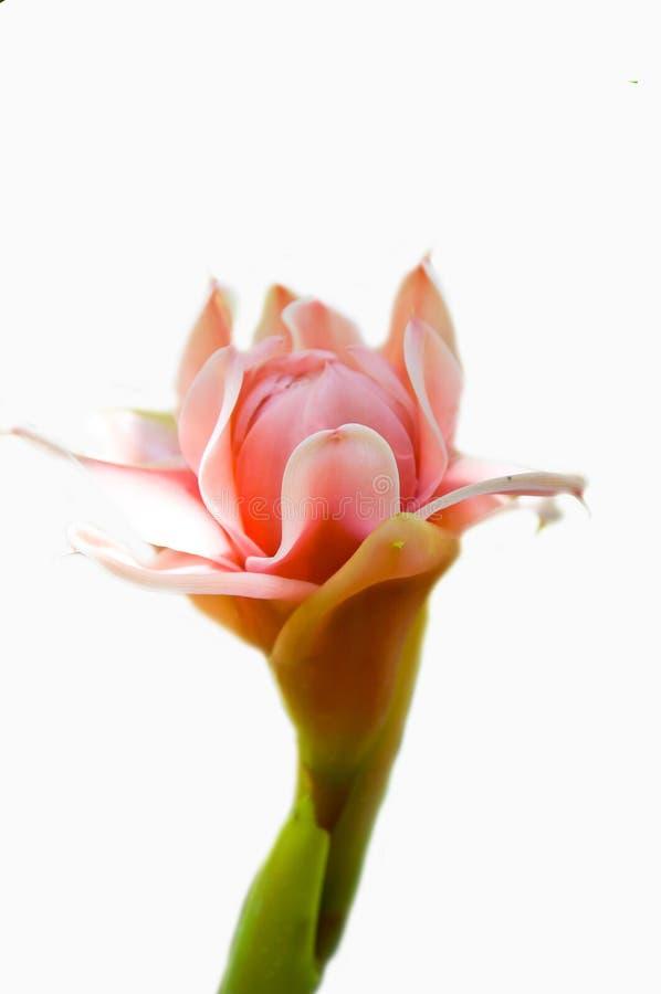 Fleur de gingembre images libres de droits