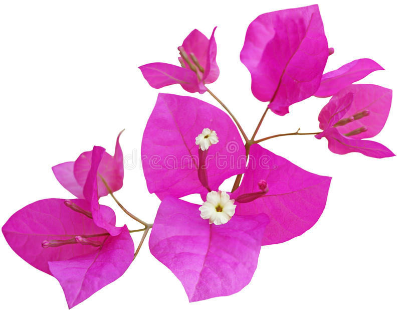 Fleur de Glabra de bouganvillée photo stock
