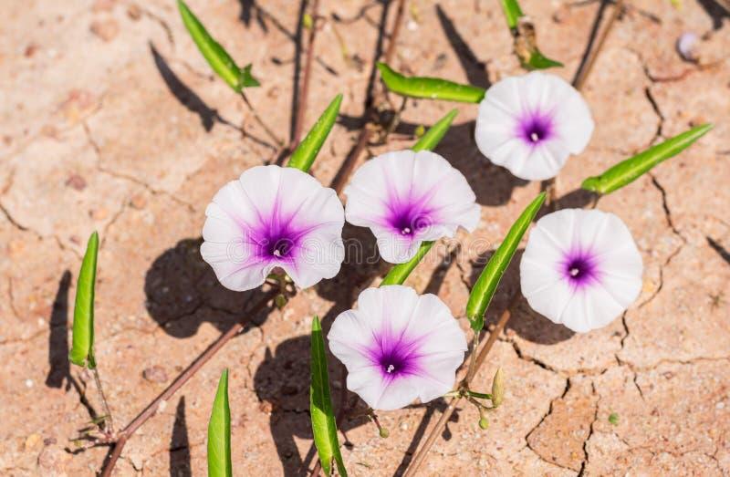Fleur de gloire de matin au sol sec criqué image libre de droits