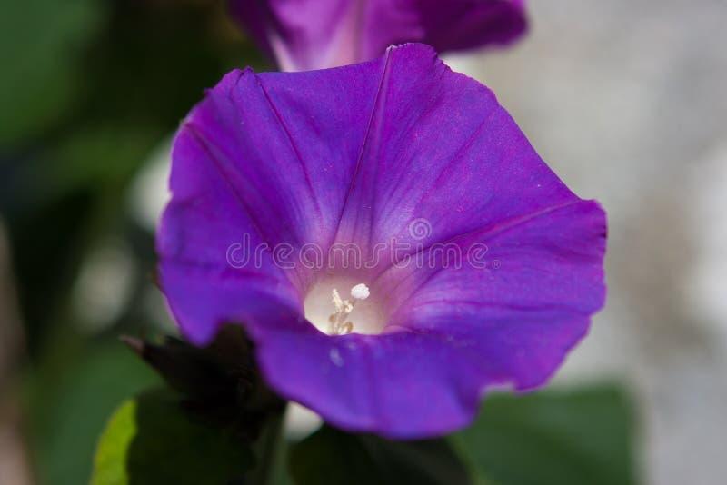 Fleur de gloire de matin (purpurea d'Ipomoea) dans Gubbio, Ombrie, Italie images stock