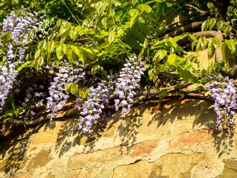 fleur de glycine avec l 39 ombre sur un mur image stock image du ornemental jardin 39739487. Black Bedroom Furniture Sets. Home Design Ideas