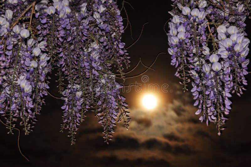Fleur de glycine la nuit image stock