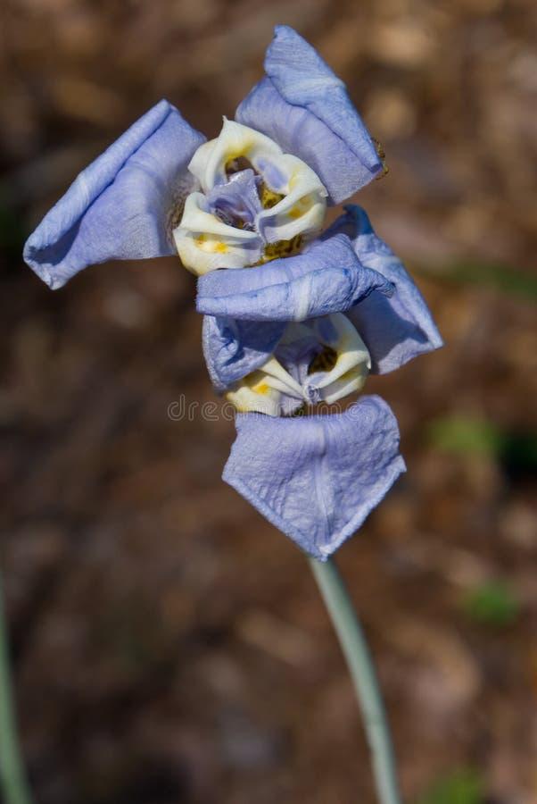 Fleur de gobelet photographie stock libre de droits