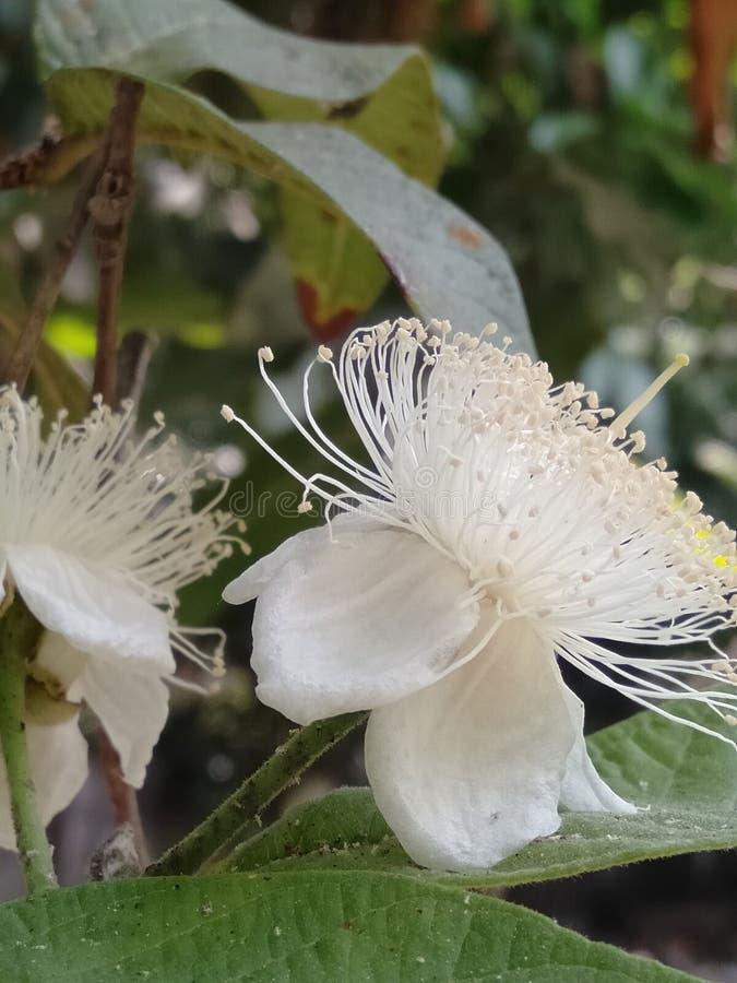 Fleur de goyave photos libres de droits