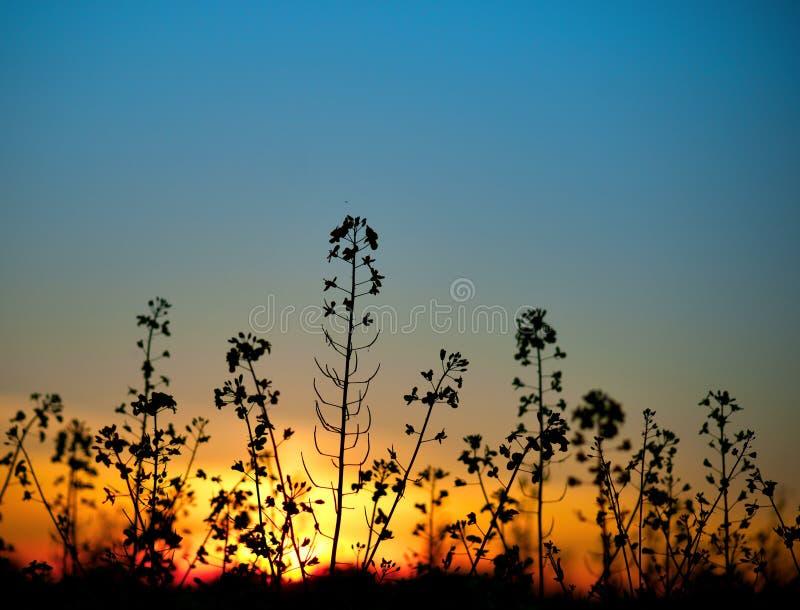 Fleur de graine de colza au coucher du soleil images stock