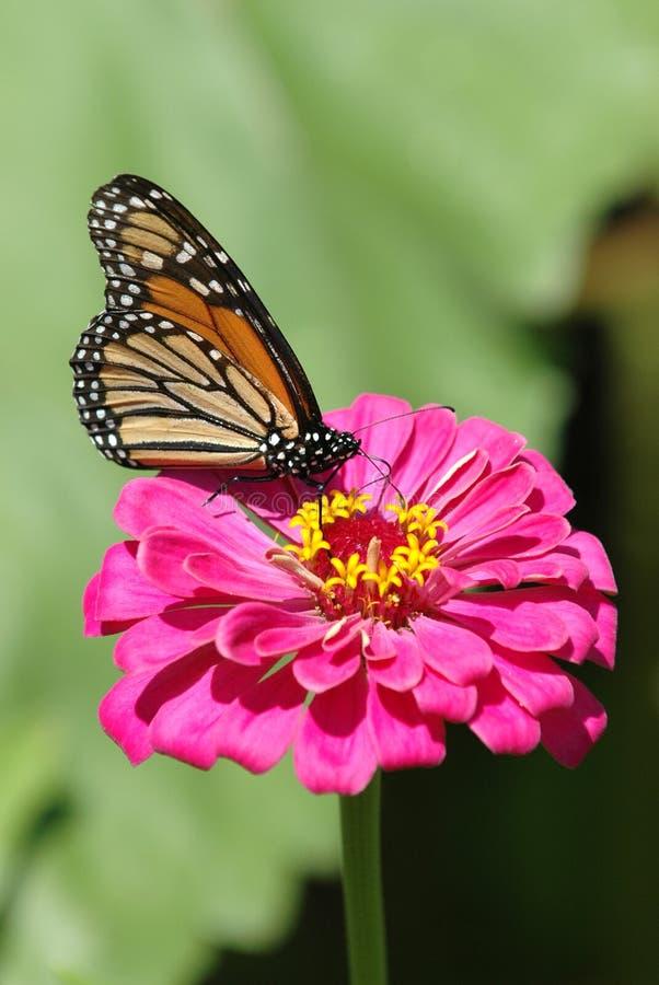 Download Fleur de guindineau 3 image stock. Image du ressort, jardin - 4350153