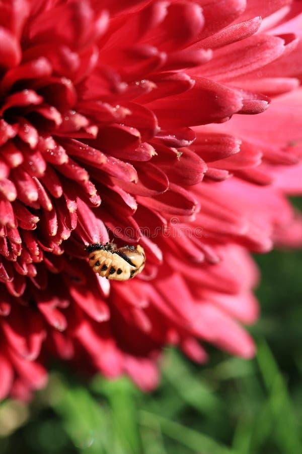 Fleur de Guldaudi images libres de droits