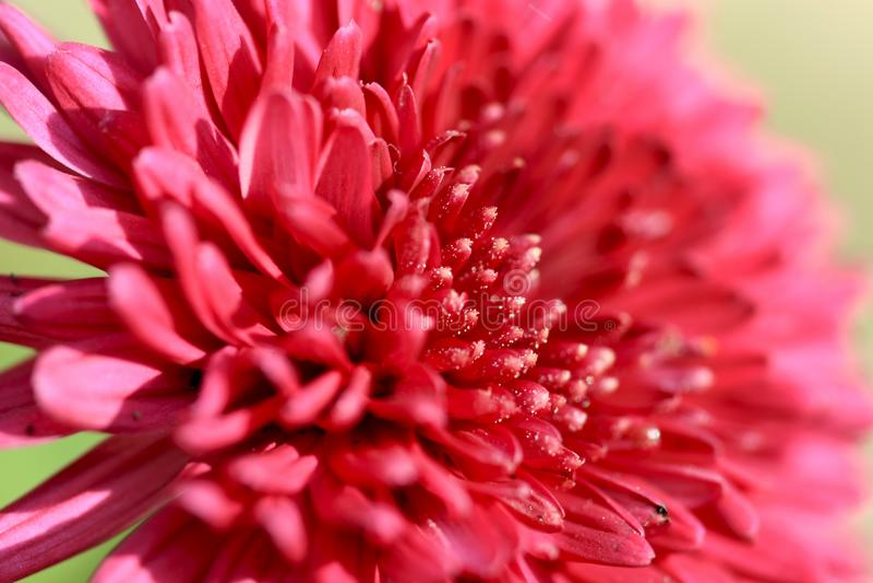 Fleur de Guldaudi image stock