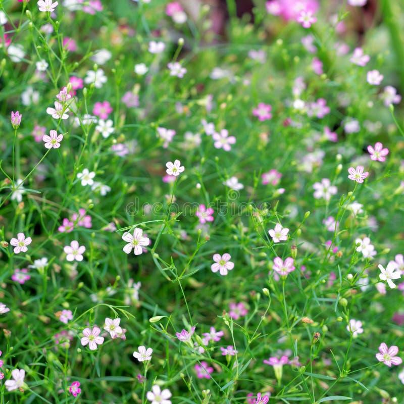 Fleur de gypsophila de plan rapproché photographie stock libre de droits