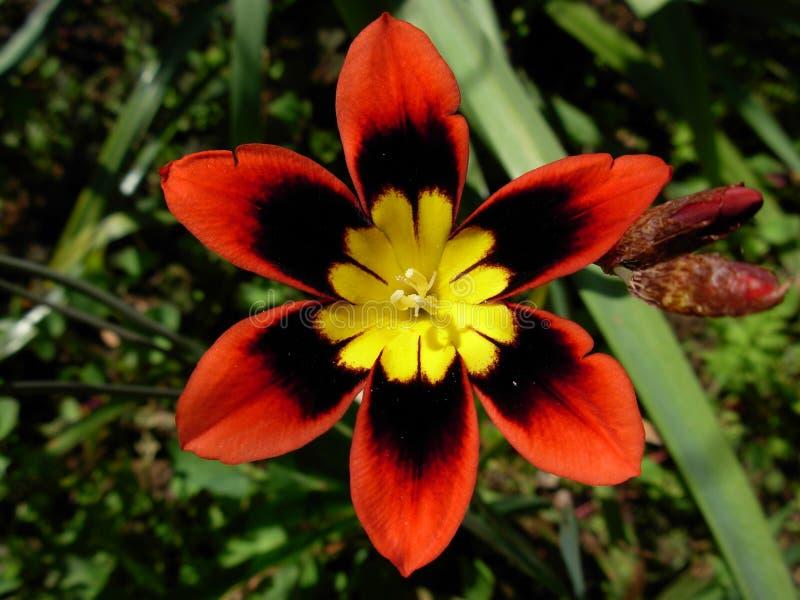 Fleur de harlequin image libre de droits
